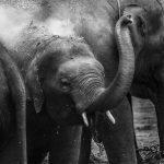 Souvenir ważniejszy niż życie słonia