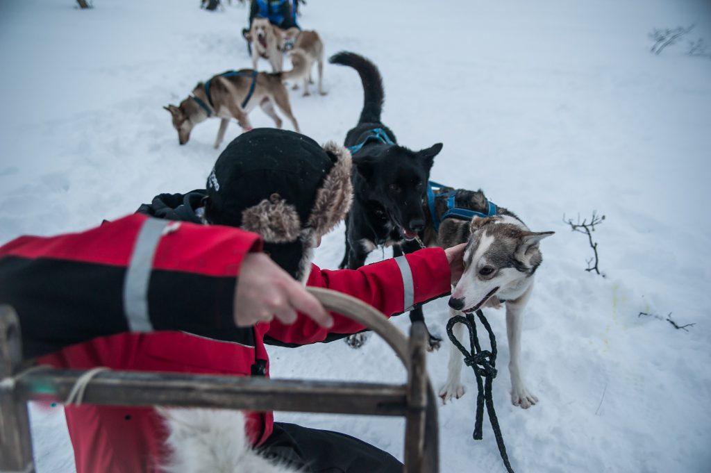 psie zaprzęgi tromso